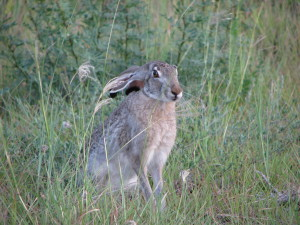 Black-tailed Jackrabbit-3