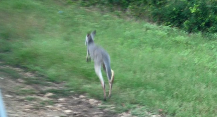 Kangaroo on the loose