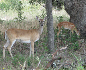 Residents are voicing their concerns about the population of white tail deer in Salado. (file photo)