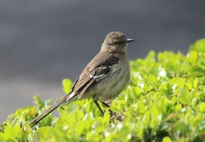 The northern Mockingbird.