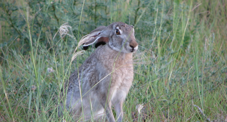 Jackrabbits prefer evening hours